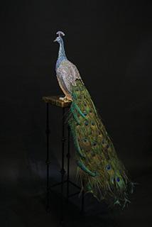 Brinkerhoff-Blue Peacock 1